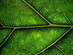É na folha que se realiza a fotossíntese