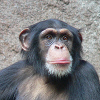 simpanse.jpg (600×600)