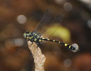 Gomphidia kruegeri