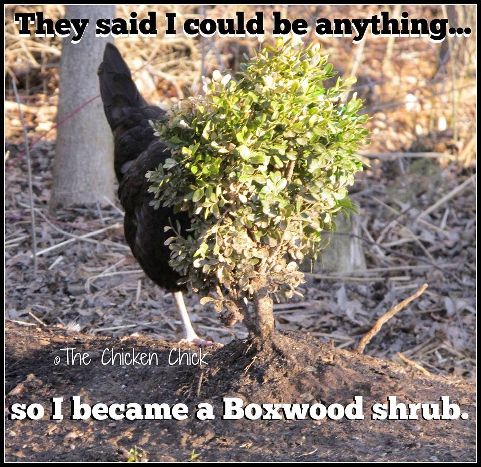 They said I could be anything...so I became a Boxwood shrub.