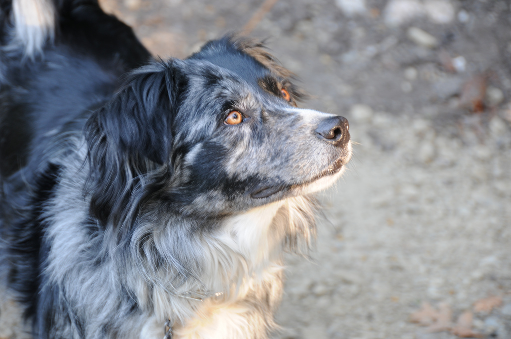 Blue Merle Border Collie Australian Shepherd Mix Gallery for blue ...
