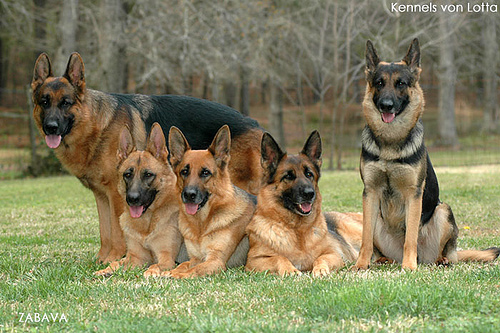 Way I understand the world: German Shepherd Dog (GSD)