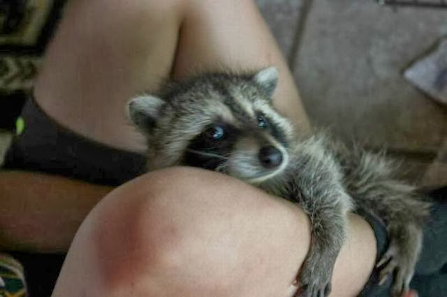 Funny animals of the week - 20 December 2013 (40 pics), cute baby raccoon hugs human foot