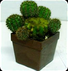 kalemljenje kaktusa