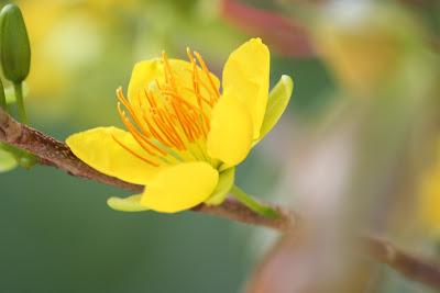 Hoa mai vàng đẹp rực rỡ