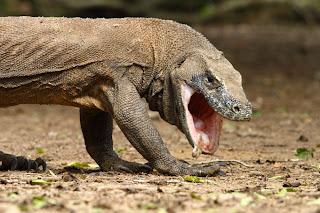 Komodo (40 Juta Tahun)