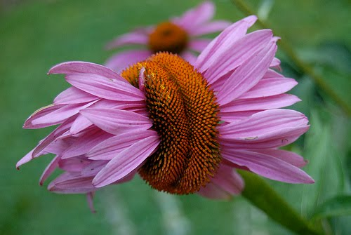 Beautiful Flowers Coneflower Pictures Meanings