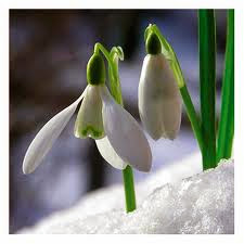 The significance of the Snowdrop Flower