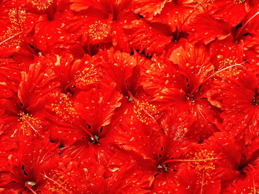 Banco de Imagenes y fotos gratis: Flores Rojas, parte 4