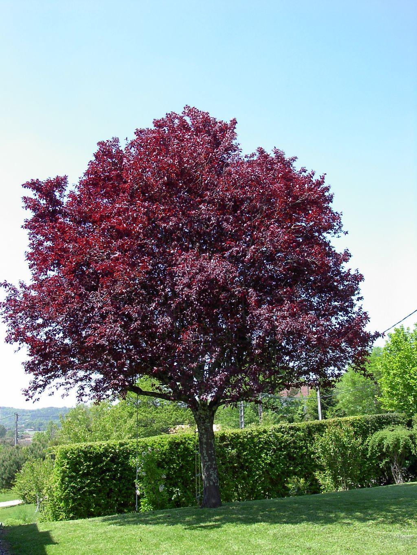 Arte y jardiner a prunus cerasifera var pissardii for Arboles para jardin japones