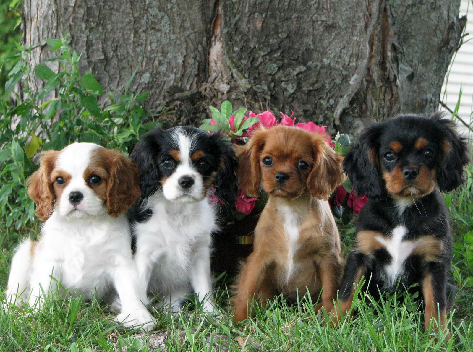 Puppies Dog Breed Information Image Pictures