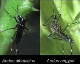 albopictus vs aegypti