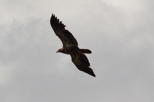 Alaska large eagle