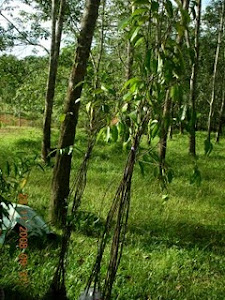 Anak pokok karas setinggi 7-8 kaki