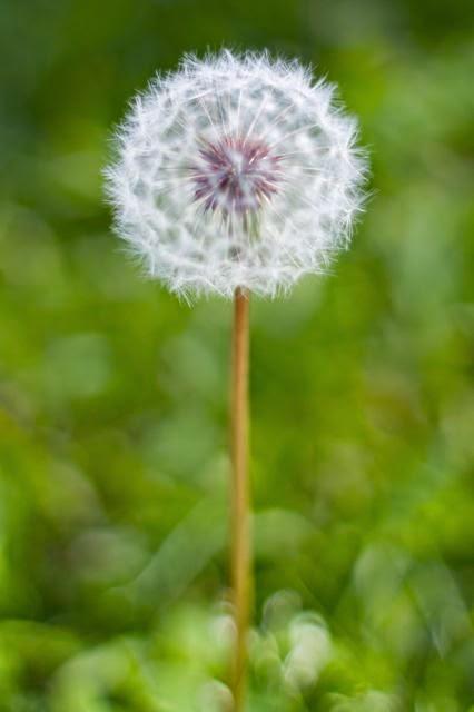 obat herbal penyakit batu empedu dandelion