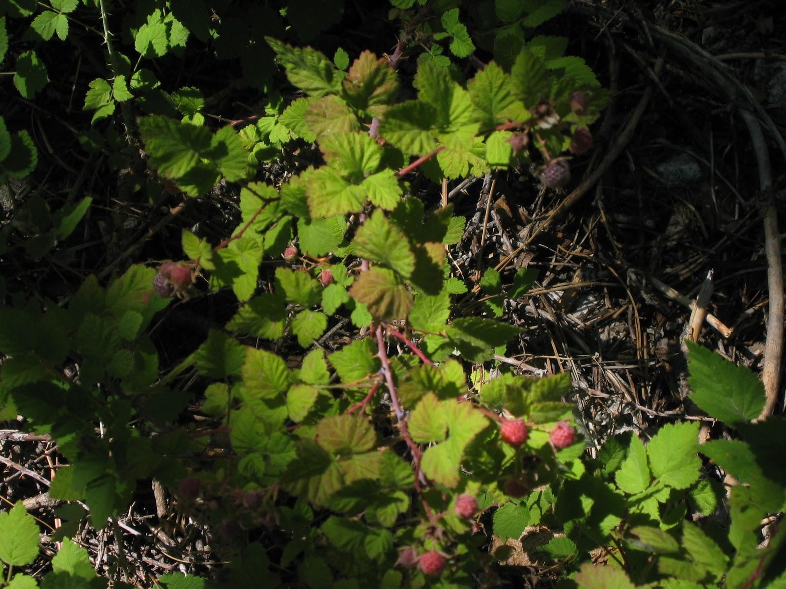 whitebark raspberry how to grow
