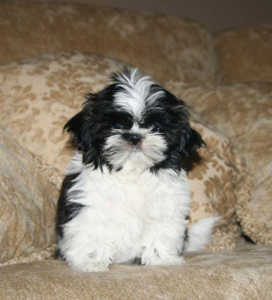 Cute Puppy Dogs: cute shih tzu puppies