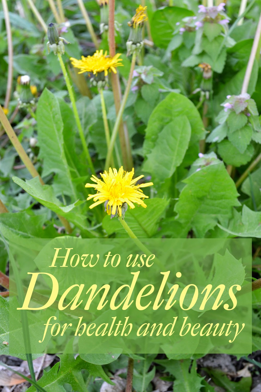 How to use Dandelions for health and beauty - harvest dandelion leaf and root for health