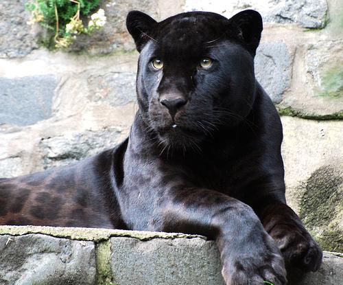 Y Tigers Are Endangered Do Berço até...