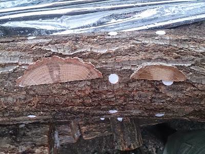 原木しいたけ ホダ化の進み具合