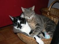 Les chats qui vivent ensemble ont tendance à se lécher mutuellement pour montrer leur attachement, mais aussi pour se rendre service.
