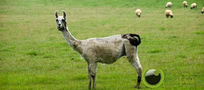 llama Penjaga (Guard llama)