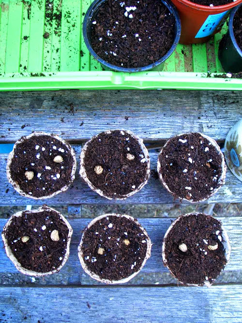 fibre pots filled with compost with nasturtium seeds