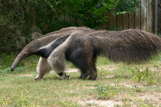 Funny Giant Anteater