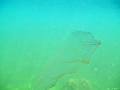 Marea Neagra Black Sea underwater images poze subacvatice warty comb jelly or sea walnut (Mnemiopsis leidyi)Bolinopsidae Loba