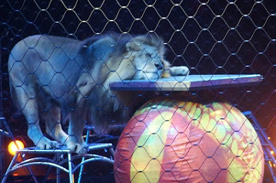 Lion laying his head on the platform instead of climbing onto it