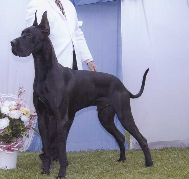 Apache%2C+Great+Dane.jpg