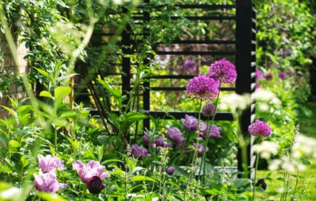 Have med sort pergola og linjer tegnet af blomster. Blomstrende allium og tulipan Blue Parrot giver haven særlig karakter