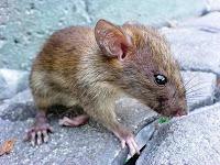 """""""Plaga de roedores"""""""
