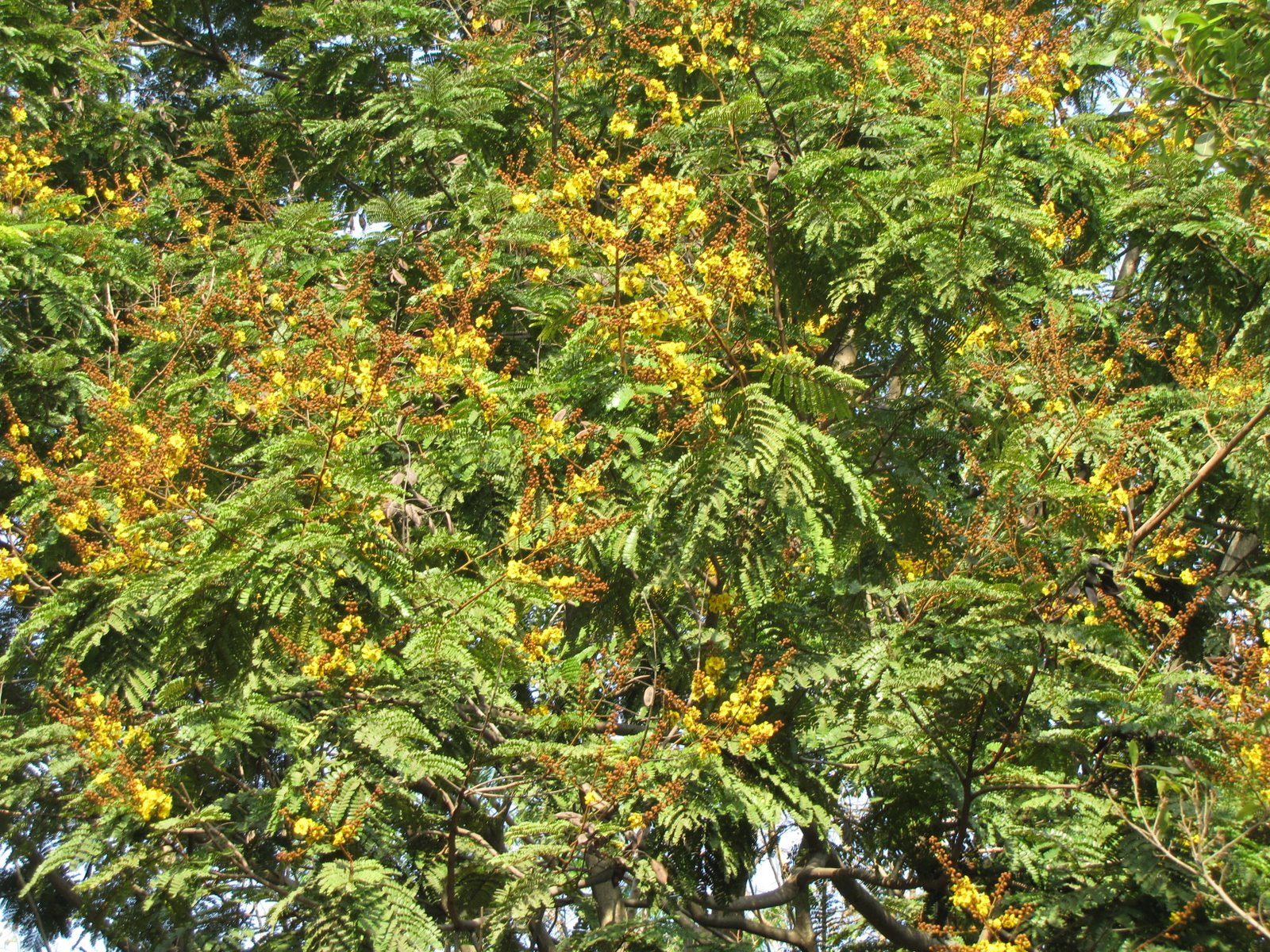 Hallucinations Jacaranda Pongamia Copperpod And Gulmohar