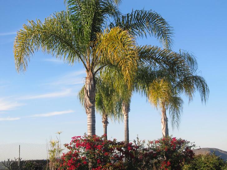 San Diego Palmas
