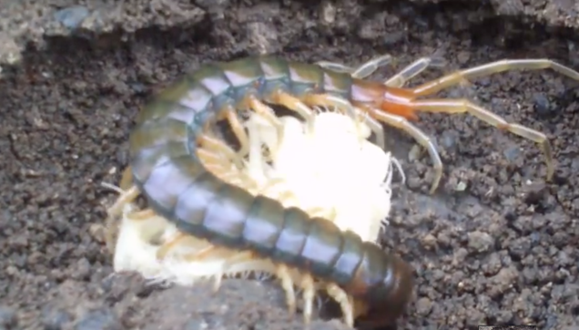 Centipede mom protects her babies