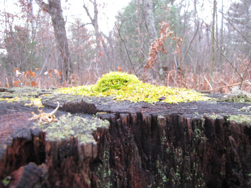 mossy hump