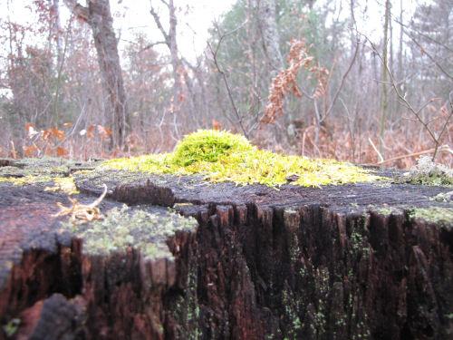 mossy hump
