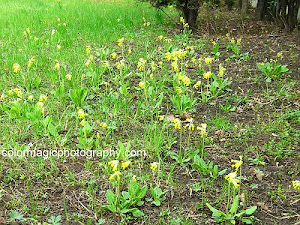 Small group of cowslip flowers in open field