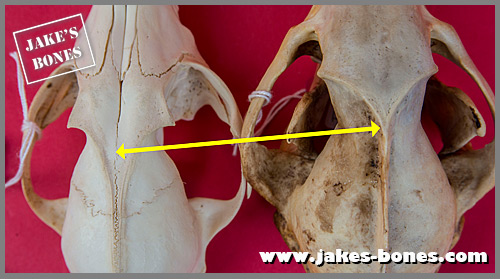 The difference between fox and badger skulls : Jake's Bones