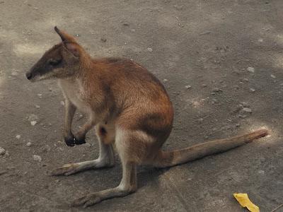 foto Wallaby di kebun binatang