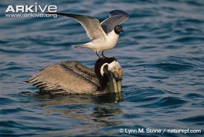 interactions between acuatic birds Pelecanus occidentalis