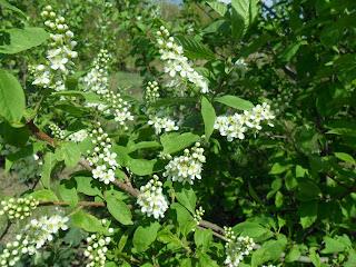 15 мая, цветки черемухи