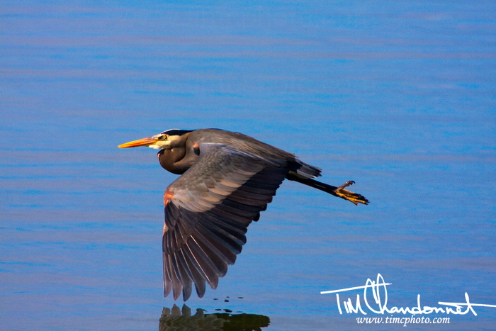 Tim Chandonnet Photography-Timcphoto-Bellingham Washington Photographer-Bird, nature photography- A Great Blue Heron fly's just over the waters surface in Northwest Washington