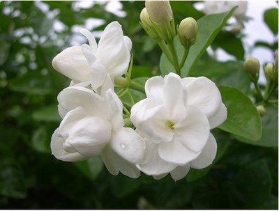 Foto Bunga Cempaka
