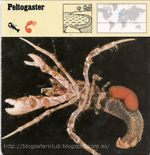 Blog Safari Club, el Peltogaster
