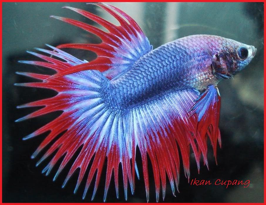 Ikan Cupang - Air Tawar - Berbagai Macam Jenis - Alam Mentari