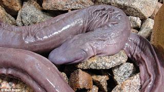 rare snake, like a penis