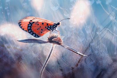 Dónde estarás mi pequeña mariposa traicionera... - Butterfly
