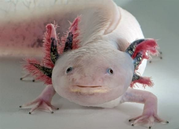 A cute leucistic axolotl